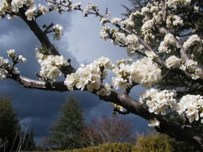 whitefruittreesmaller.jpg